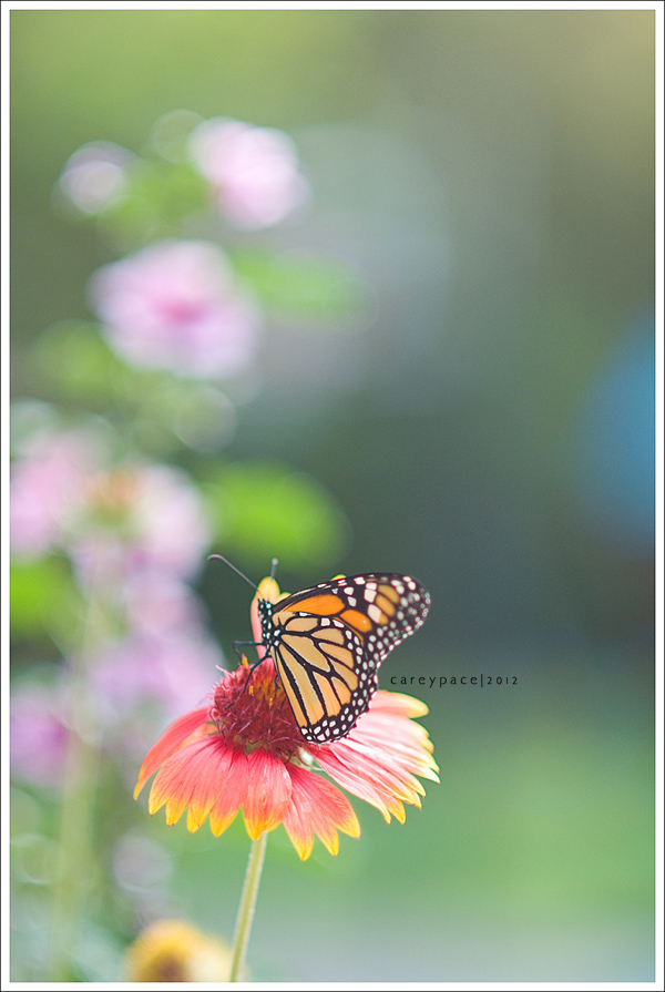 Newly emerged Monarch Butterfly by Carey Pace